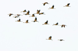 Grus grus on the way from Born, Germany to somewhere in Africa ©Johannes Ratermann
