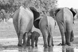 Elephants with Baby, BW ©Johannes Ratermann