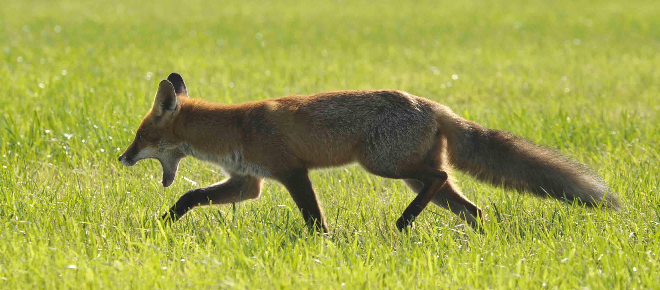 Fox (Vulpes vulpes), Darß, DE ©Johannes Ratermann