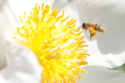 Garten-Pfingstrose mit schwer beladener Biene © Johannes Ratermann