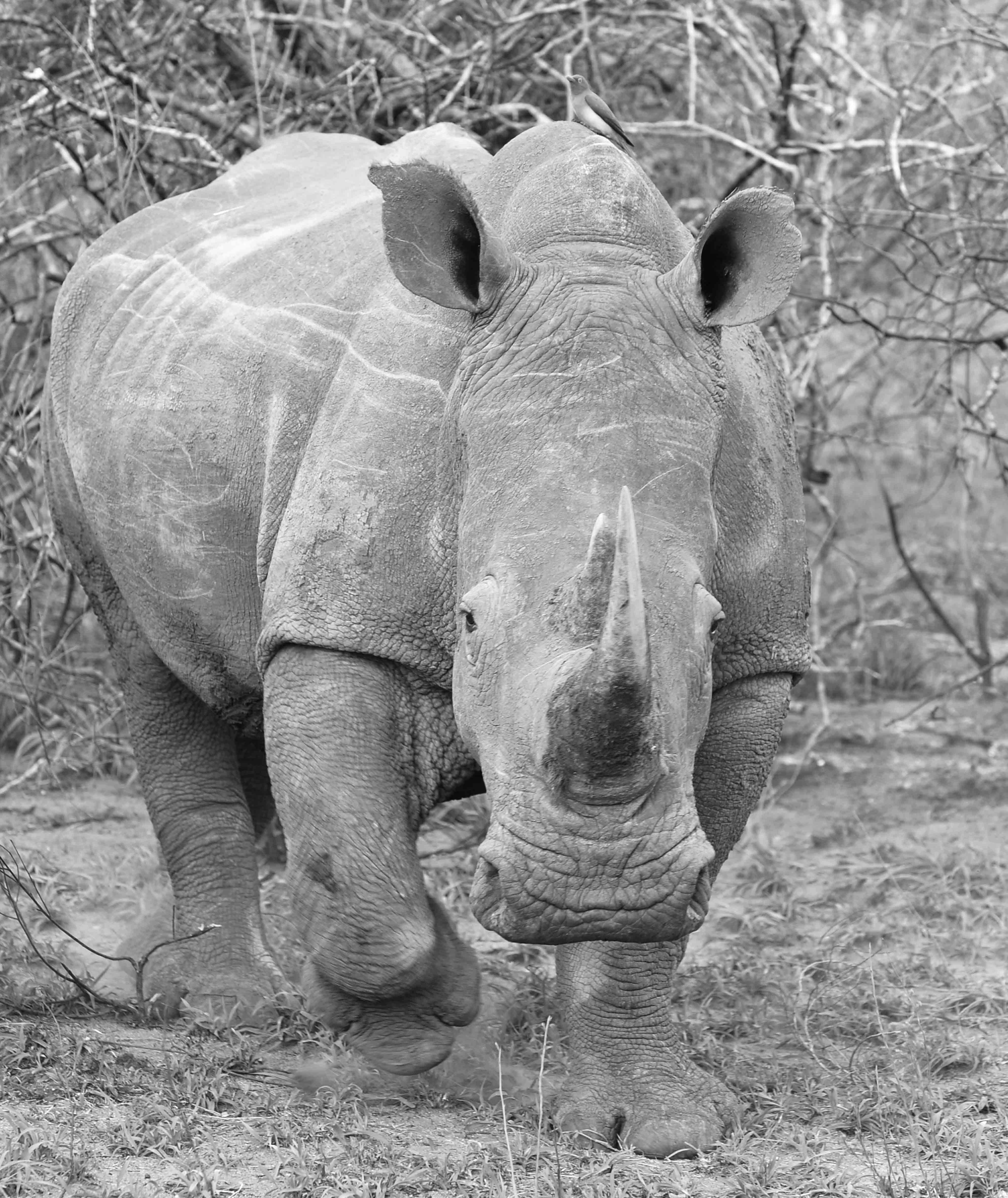 Rhino, ZA ©Johannes Ratermann