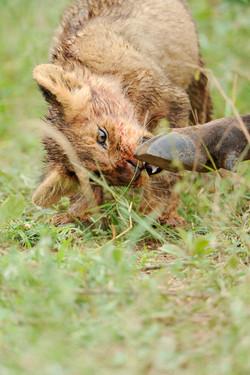 Löwenbaby neugierig, South Africa ©Johannes Ratermann