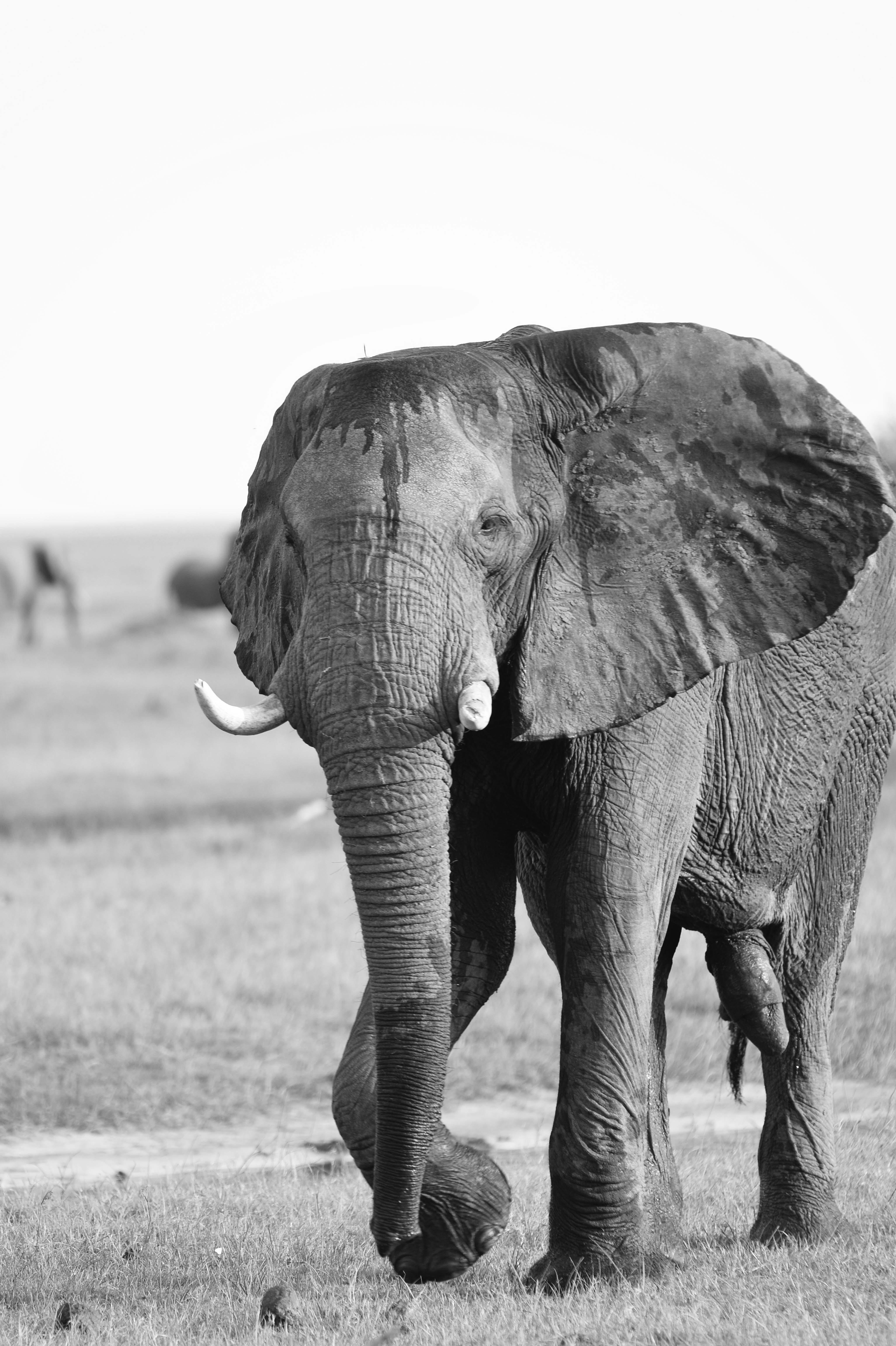 Elephantbull, BW ©Johannes Ratermann