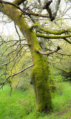 Oak near Caerlaeverock Castle ©Johannes Ratermann