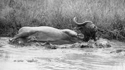 African Buffalo, Bathing, ZA ©Johannes R