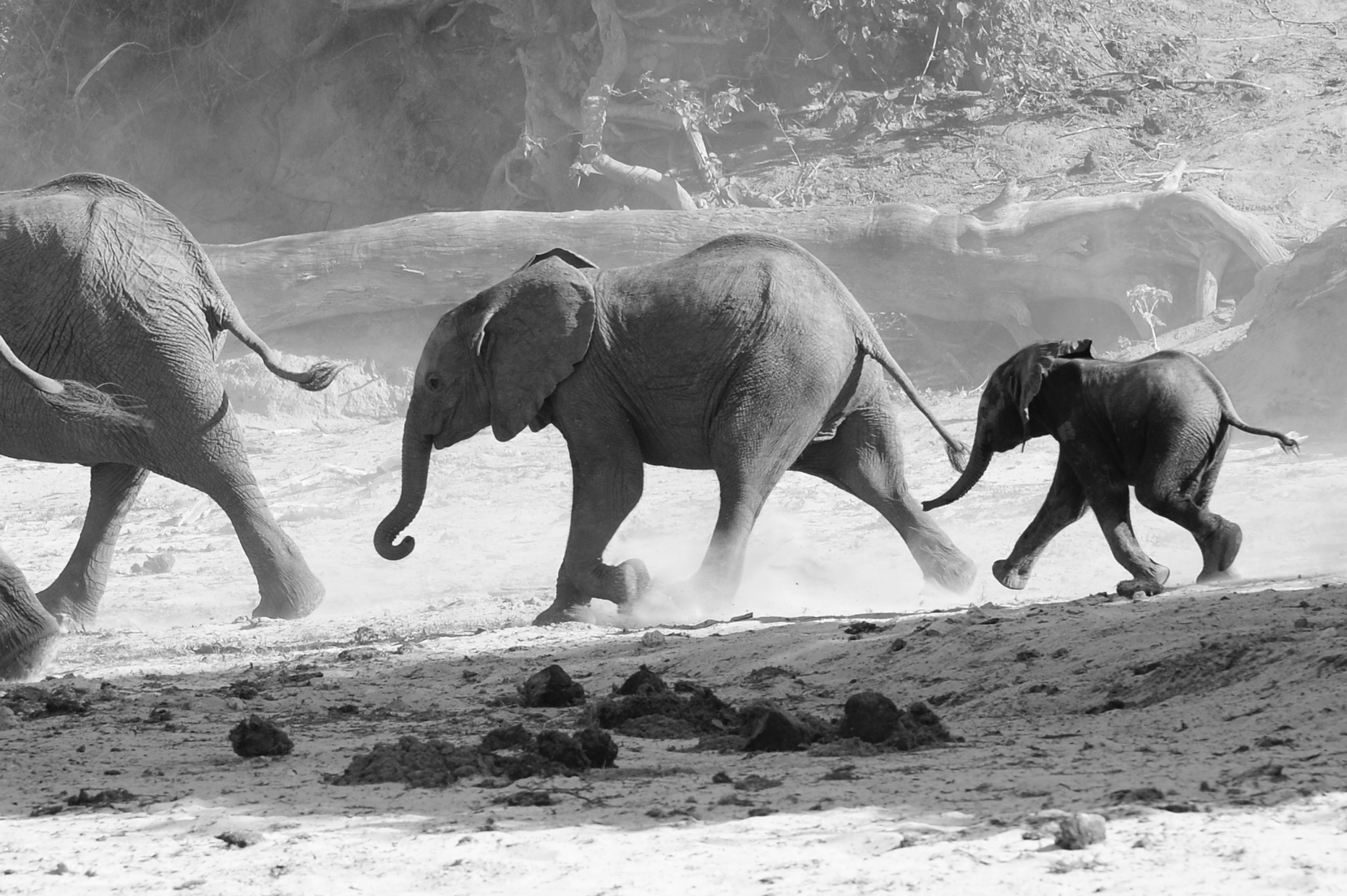 Elephants Running, Botswana Chobe River ©Johannes Ratermann