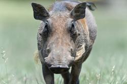 Warthog / Phacochoerus africanus, ZA ©Johannes Ratermann