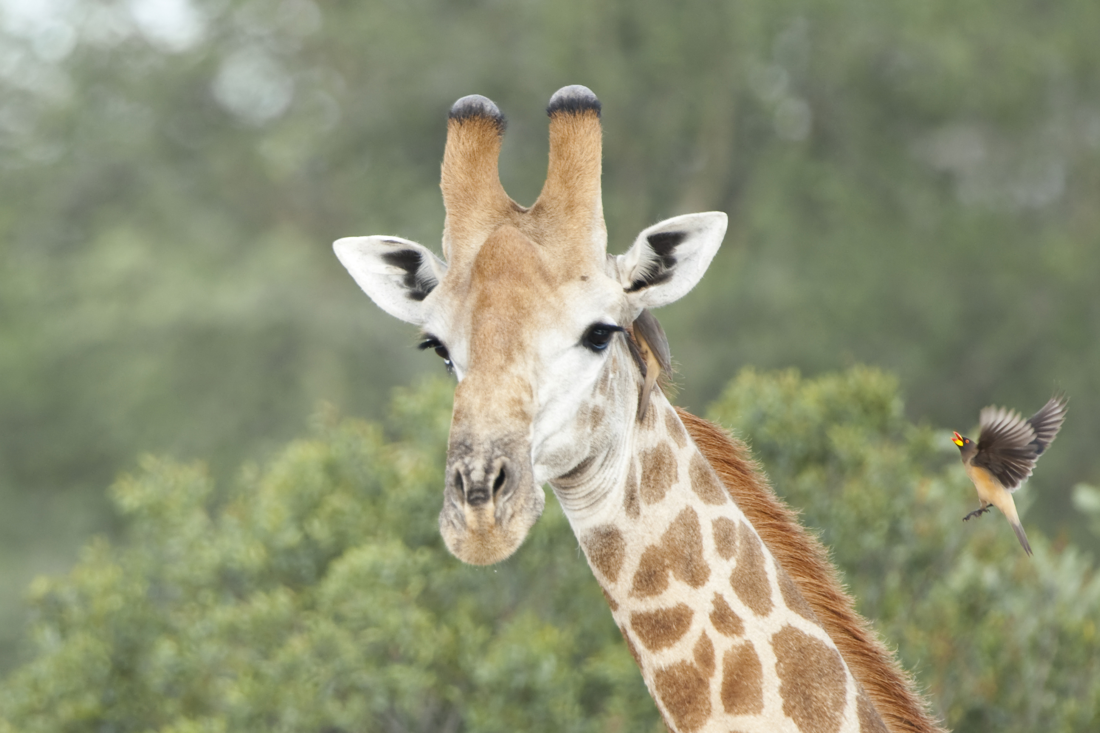 Giraffe with Red-billed Oxpecker I, ZA ©Johannes Ratermann