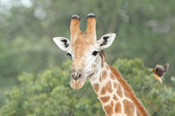 Giraffe with Red-billed Oxpecker I, ZA ©Johannes Ratermann