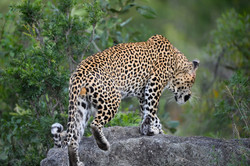 Leopard_Dayone,_Dulini,_Sabi_Sand,_Südaf