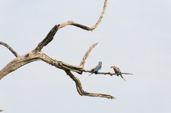 Lilac breasted Roller Couple, ZA ©Johannes Ratermann