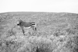 Cape Mountain Zebra , Equus zebra zebra, Zedernberge, ZA ©Johannes Ratermann