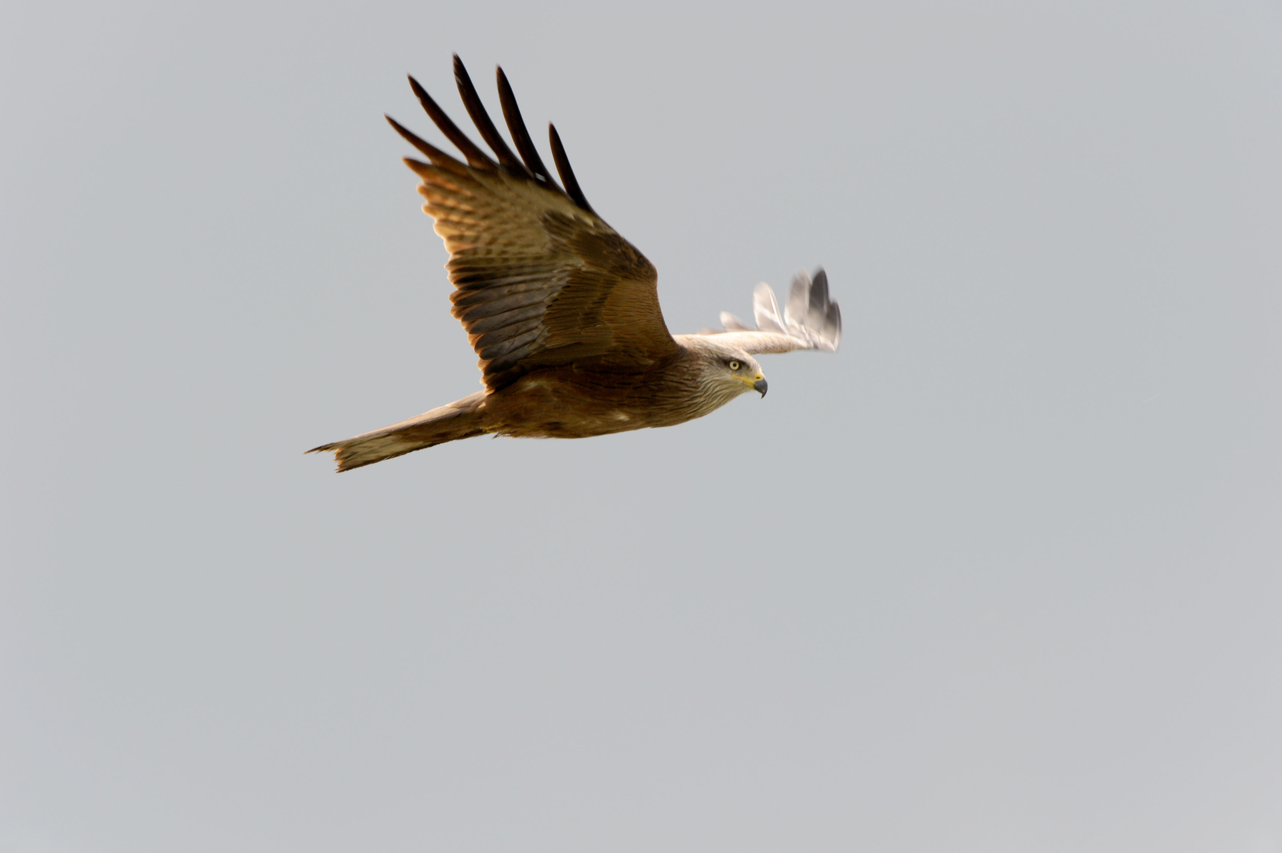 Kite, red (Milvus milvus),DE ©Johannes Ratermann