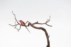 Southern carmine Bee-eater, Merops nubicoides, Sabi Sand, Südafrika ©Johannes Ratermann
