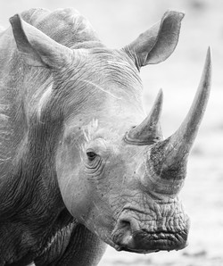 Portrait of a Rhino. Stop poaching!