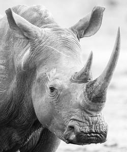 Portrait of a Rhino, Johannes Ratermann