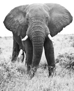Elefant, ZA ©Johannes Ratermann