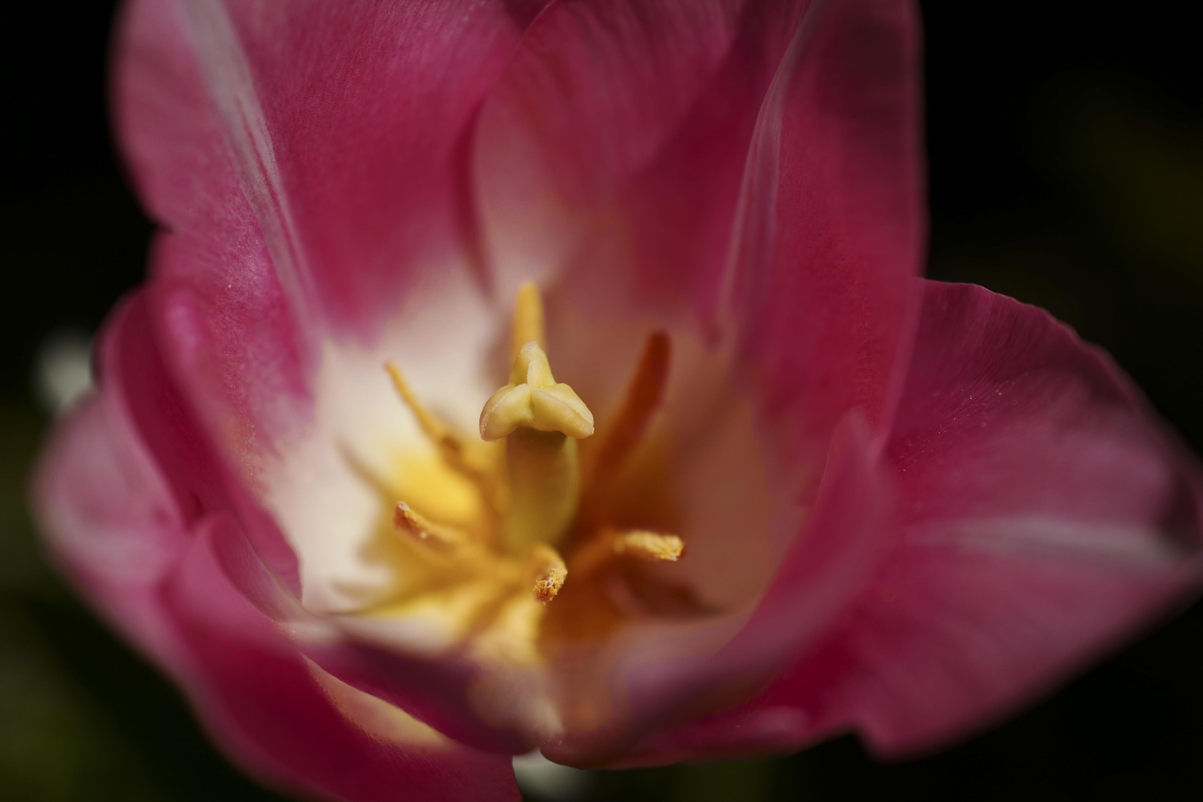 Tulpe ©Johannes Ratermann