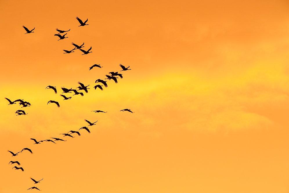 Kraniche im Abendrot fliegend, Kette,  Fischland, Darß, Zingst 2011 __DSC6909_20110903_192008-3118