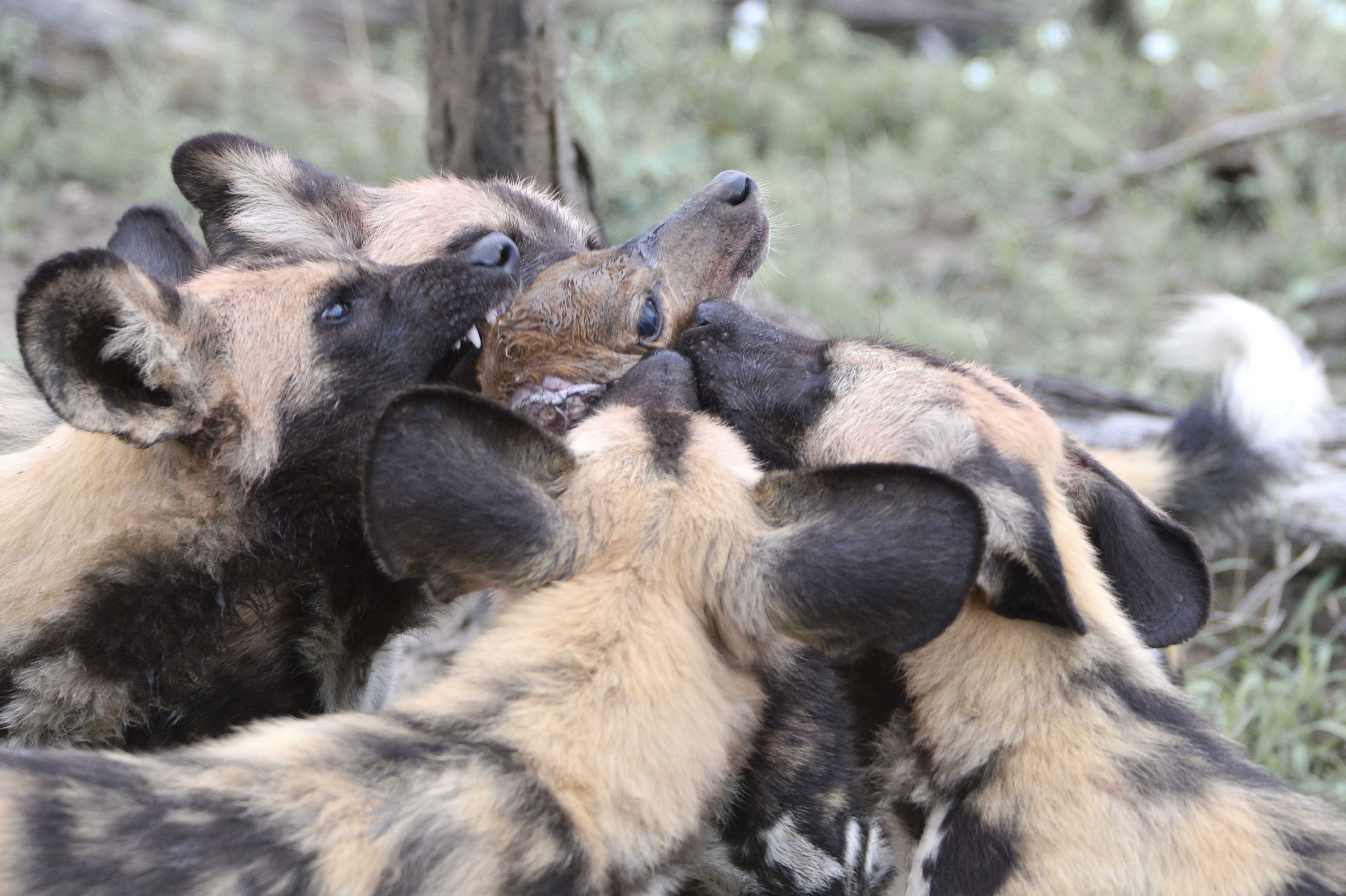 Wild Dogs (Lycaon_pictus) had hunted a Steenbok/Raphicerus c.©Johannes Ratermann