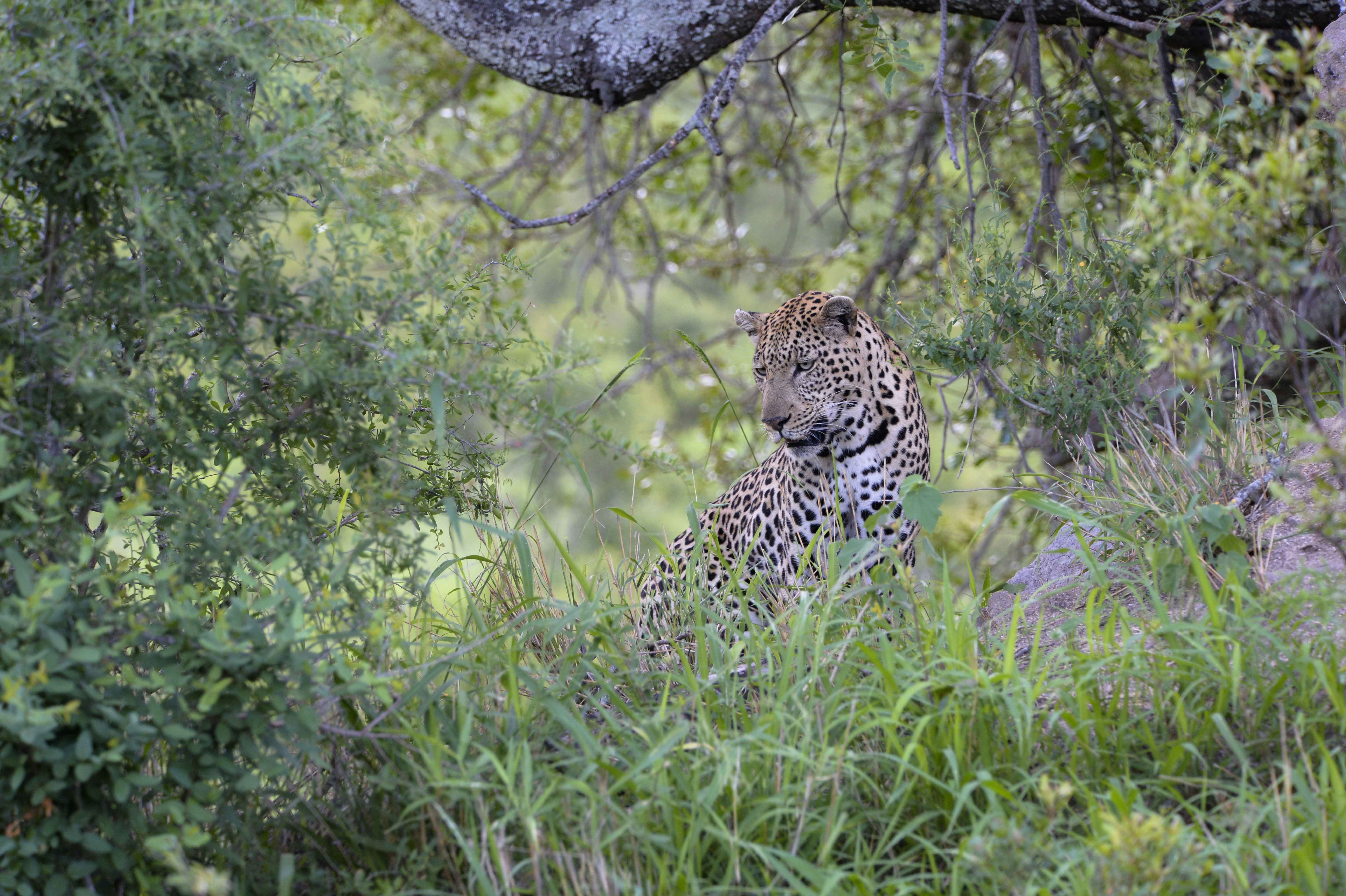 Leopard (Panthera pardus), watching; ZA ©Johannes Ratermann