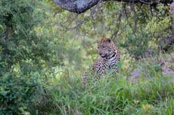 Leopard (Panthera pardus), watching; ZA ©Johannes Ratermann
