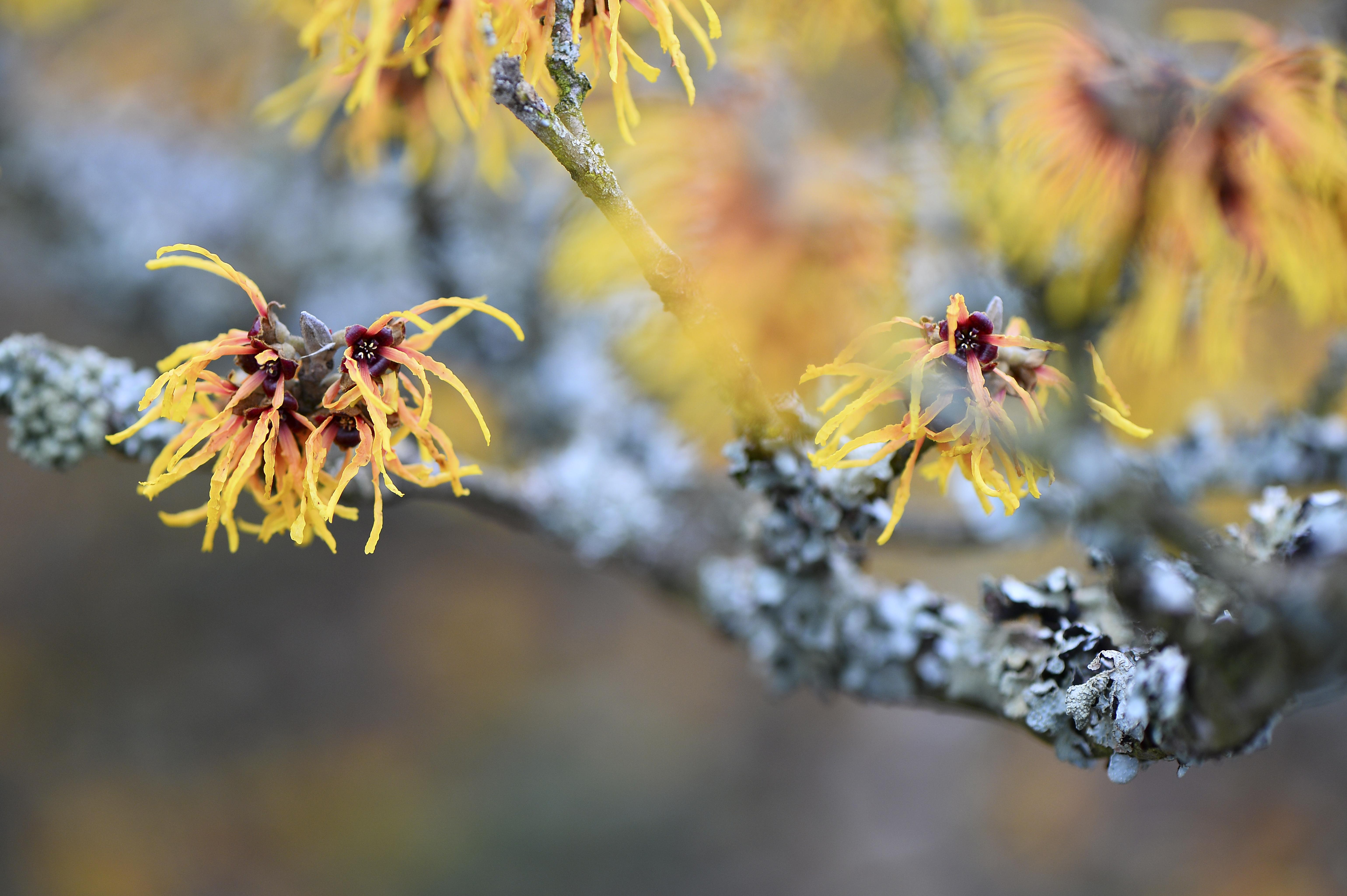 Hamamelis japonica ©Joh. Ratermann
