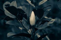 Magnolia grandifloris, Regen, Tropfen, F