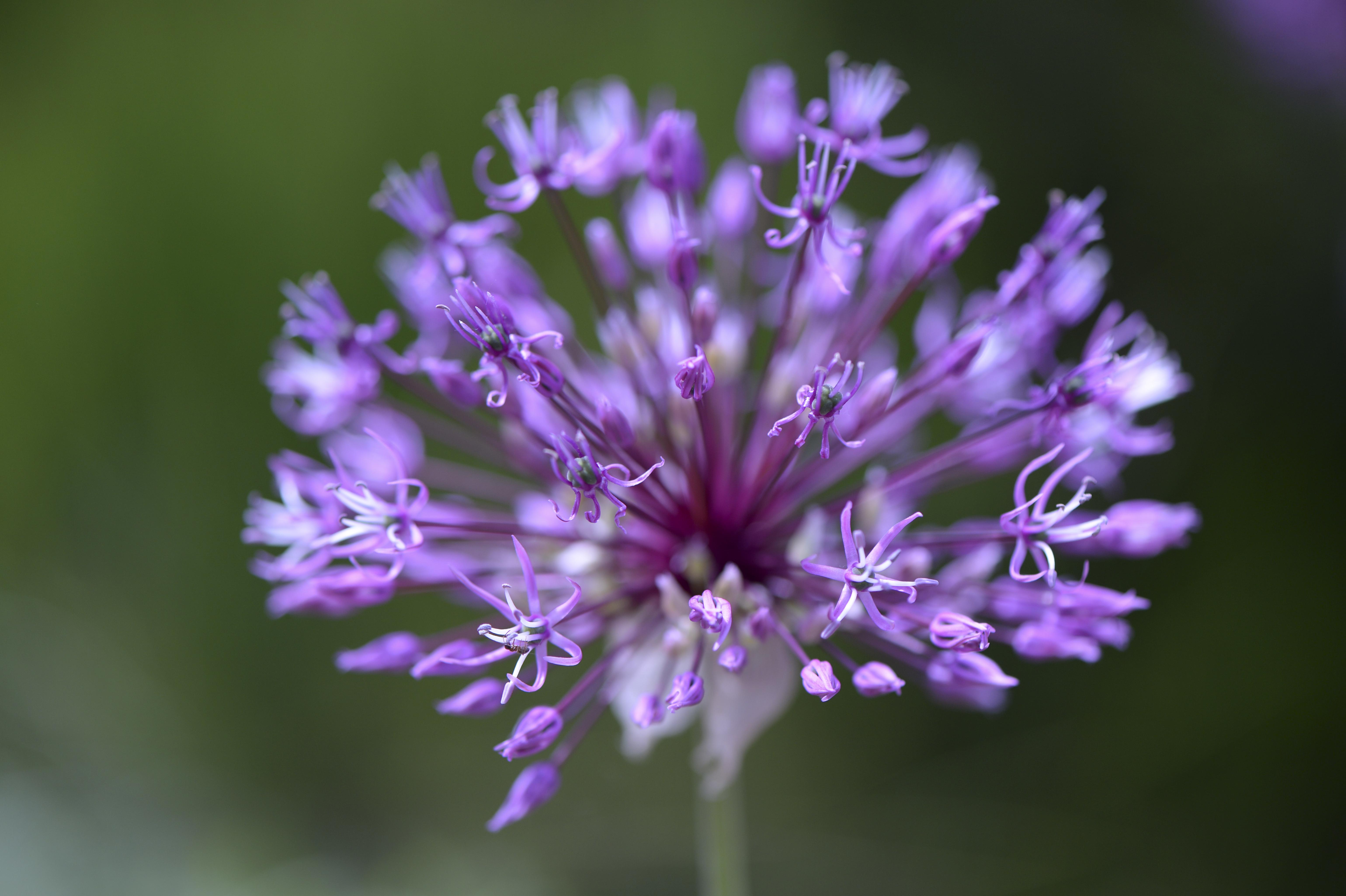 Allium rosenbachianum©Joh. Ratermann