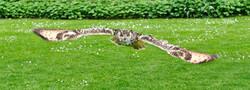 Bonsai, Bengali Eagle Owl, Falconry Dunrobin Castle ©Johannes Ratermann
