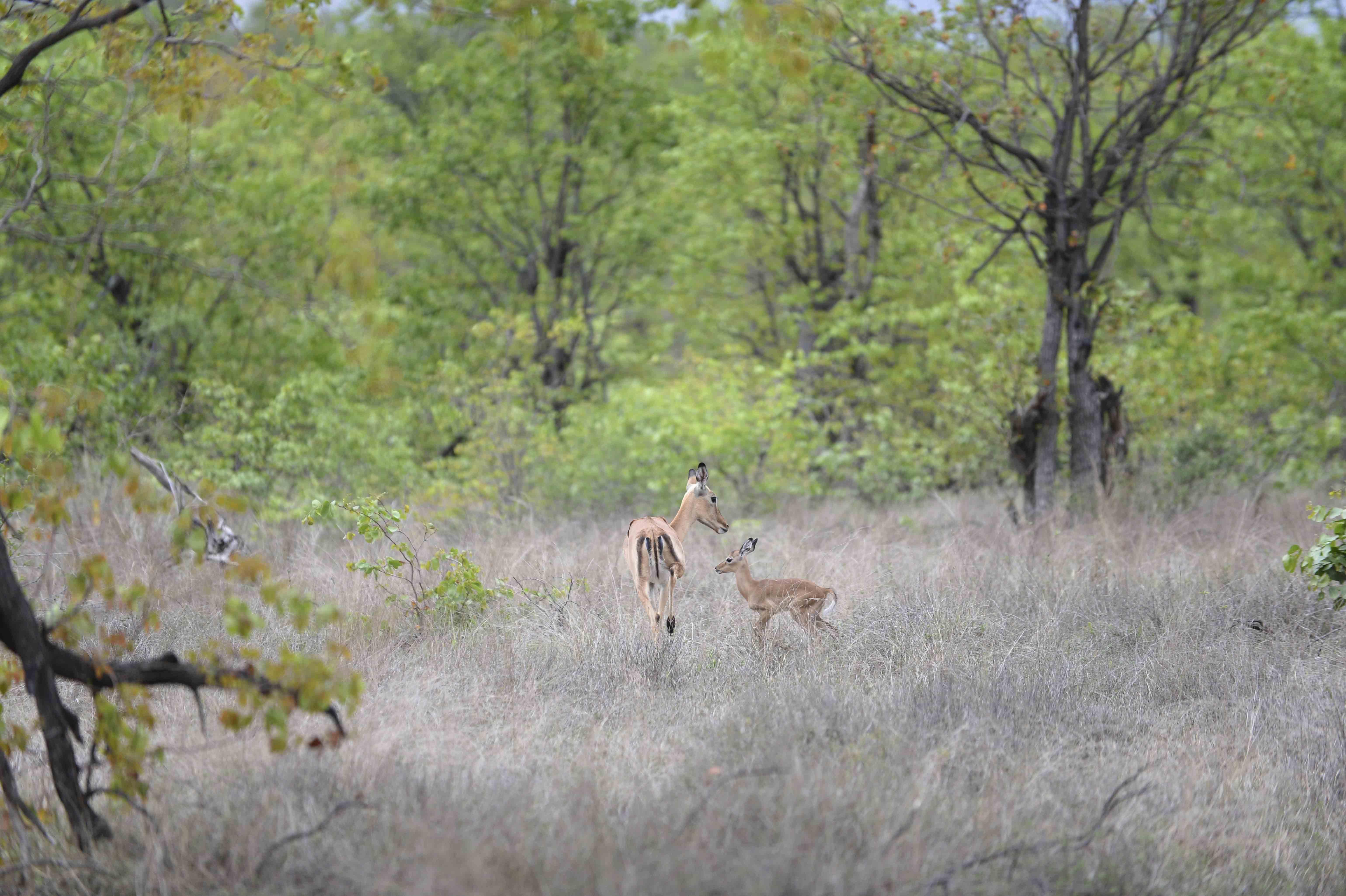 Impala Family (Aepyceros melampus), BW ©Johannes Ratermann