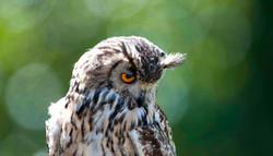 Bonsai, Bengali Eagle Owl I, Falconry Dunrobin Castle ©Johannes Ratermann