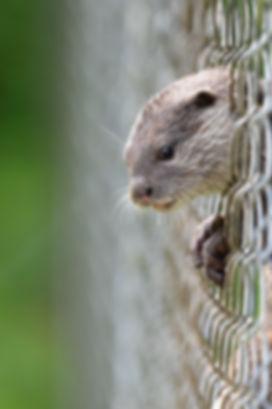 Set me free! Asian short clawed otter, TAMAR, North Petherwin, Launceston  ©Johannes Ratermann
