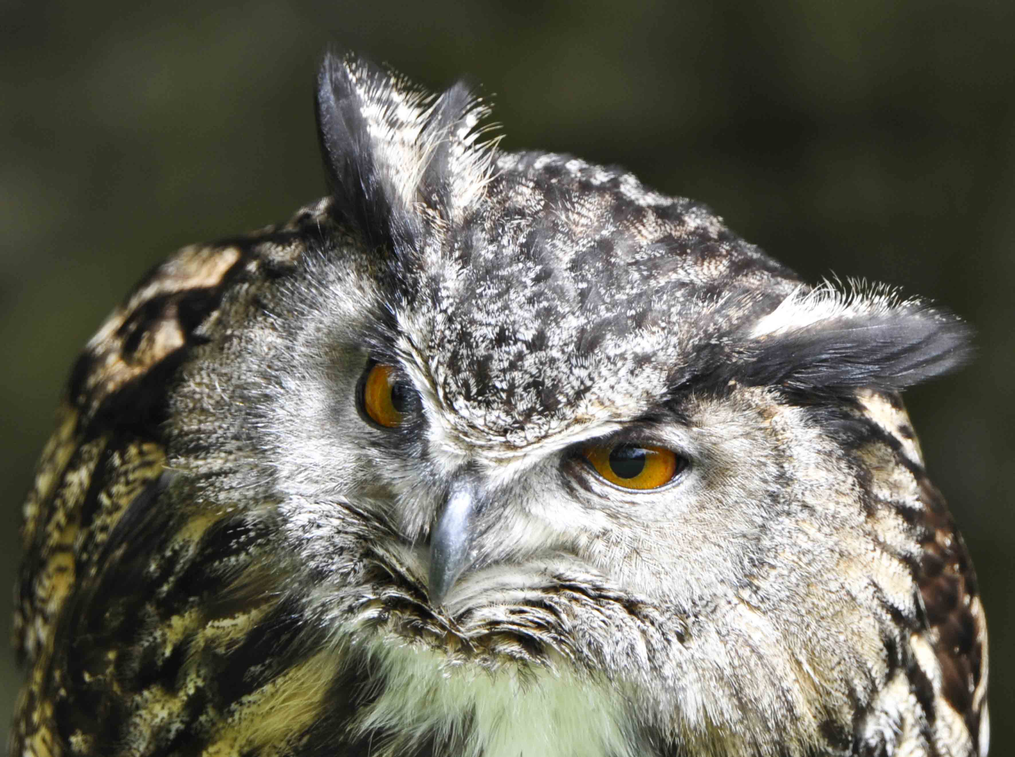 Bonsai, Bengali Eagle Owl II, Falconry Dunrobin Castle ©Johannes Ratermann