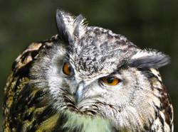 Bonsai, Bengali Eagle Owl II, Falconry Dunrobin Castle ©Johannes Ratermann