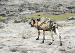 Wild Dog /Lycaon pictus, ZA ©Johannes Ratermann