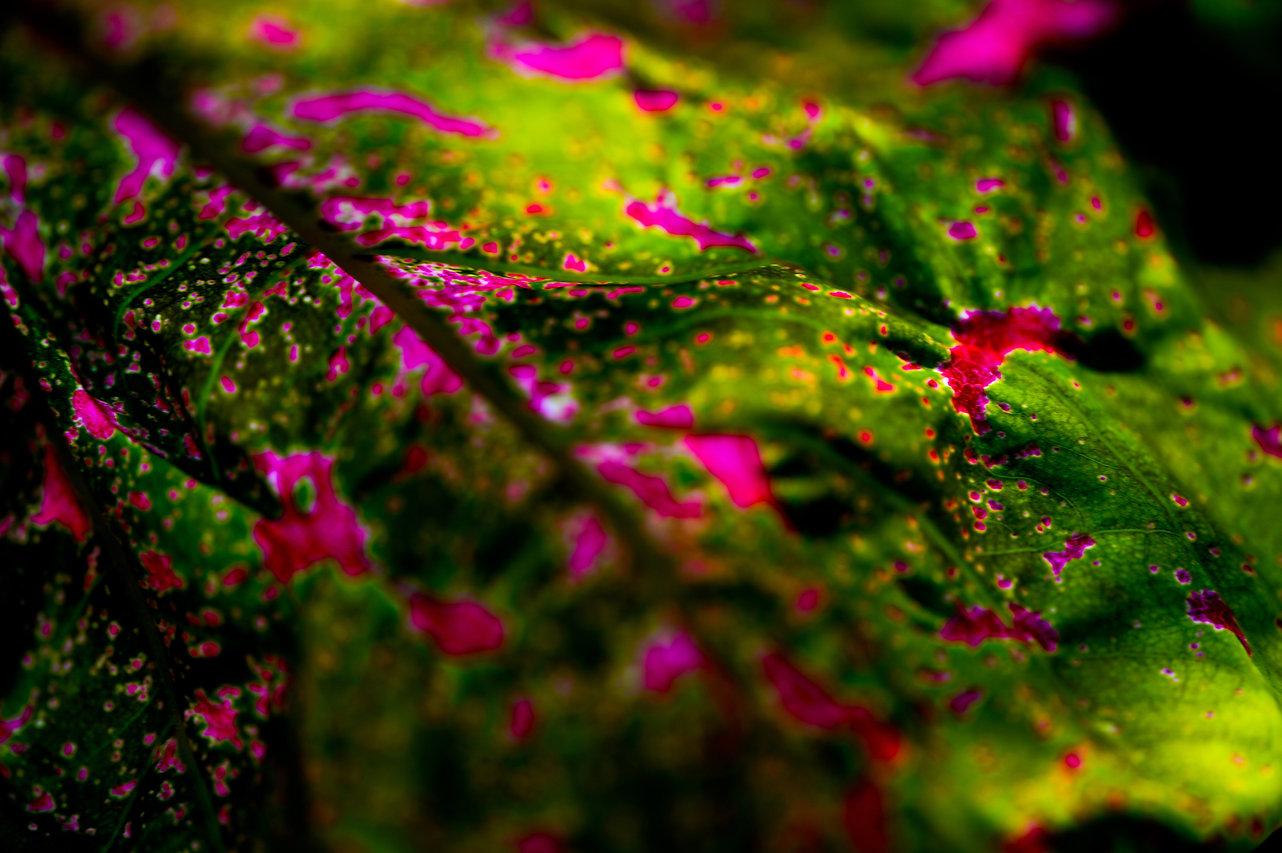 Südamerikanischer Buntwurz, Caladium bicolor ©Johannes Ratermann