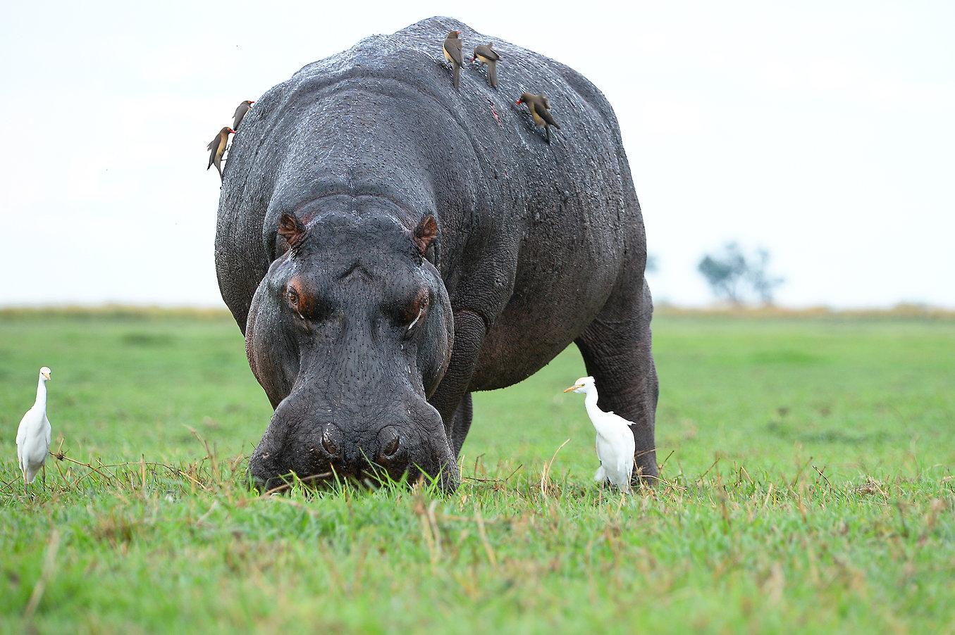 Hippo am Chobe River ©Johannes Ratermann