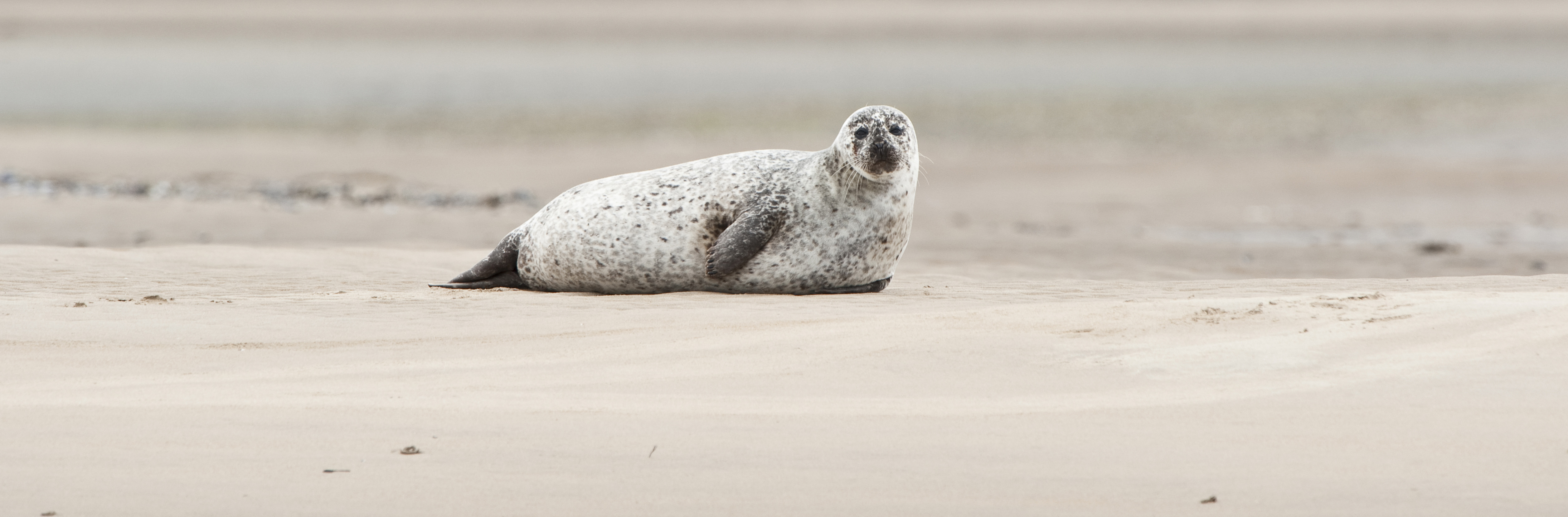 Seal near Goldspie, GB-SCT ©Johannes Ratermann