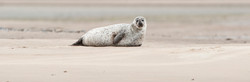 Seal near Goldspie, GB-SCT ©Johannes Ratermann