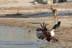 African Fish Eagle (Haliaeetus vocifer) after Bathing, BW  ©Johannes Ratermann