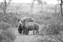 Rhinocerus mit Baby©Johannes Ratermann