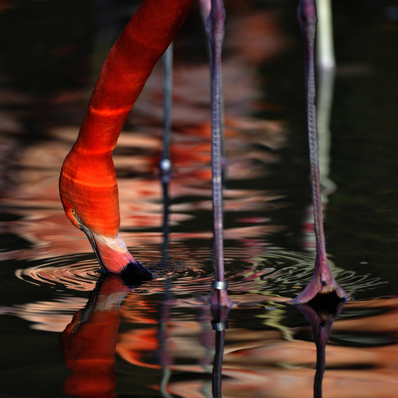 Flamingo, straining (Phoenicopterus roseus) ©Johannes Ratermann