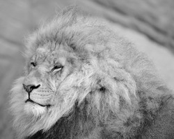 Lion in the morning (Panthera leo) ©Johannes Ratermann