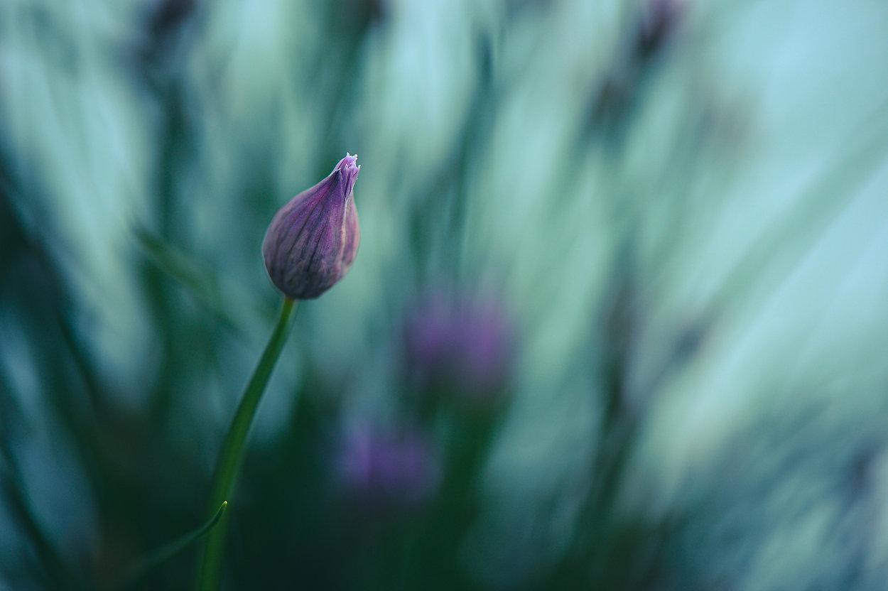 Schnittlauchblüte (Allium schoenoprasum) ©Johannes Ratermann