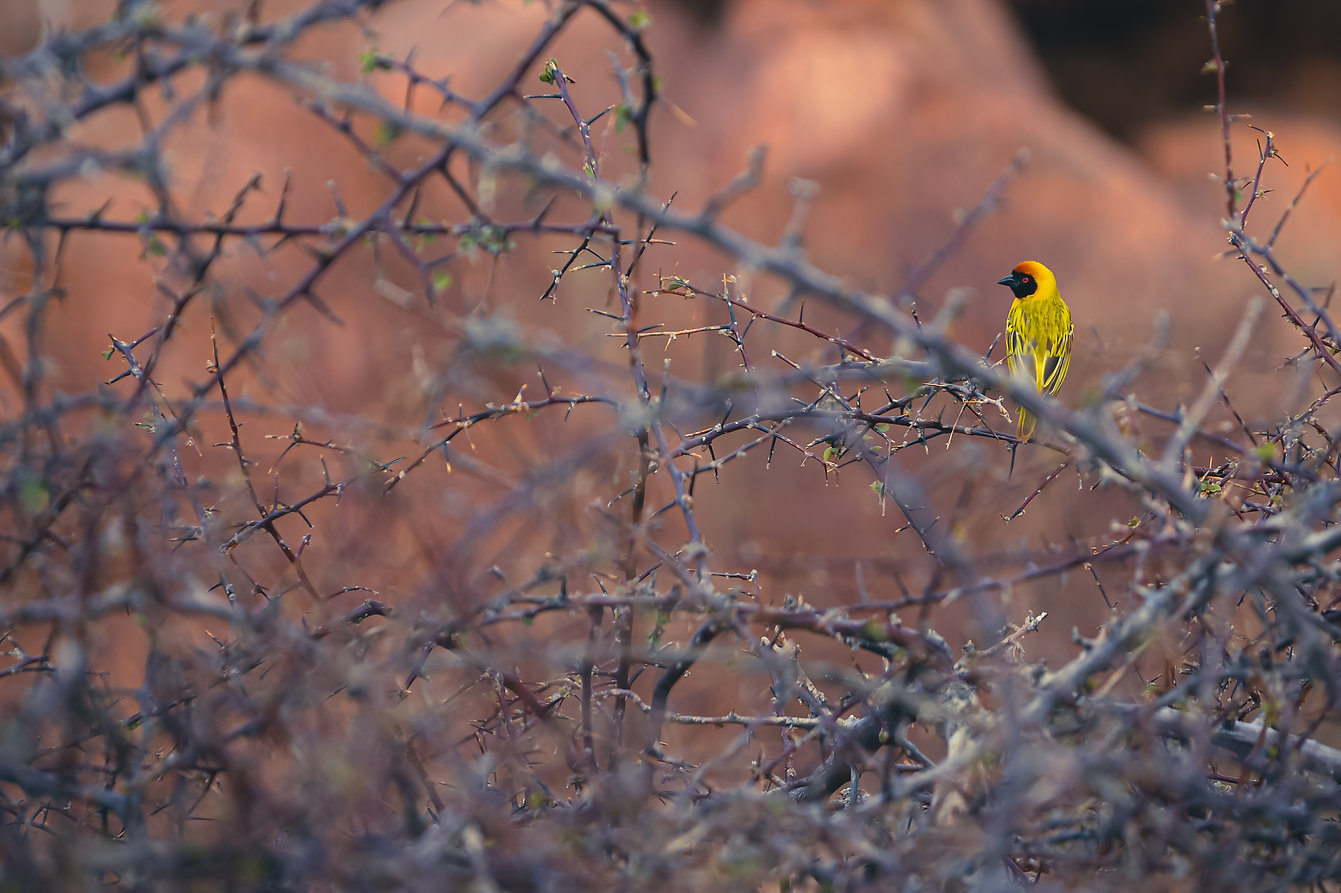 Maskenweber (Ploceus velatus) Namibia @Johannes Ratermann