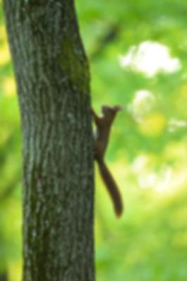 Eichhörnchen im Staatsforst ©Johannes Ratermann