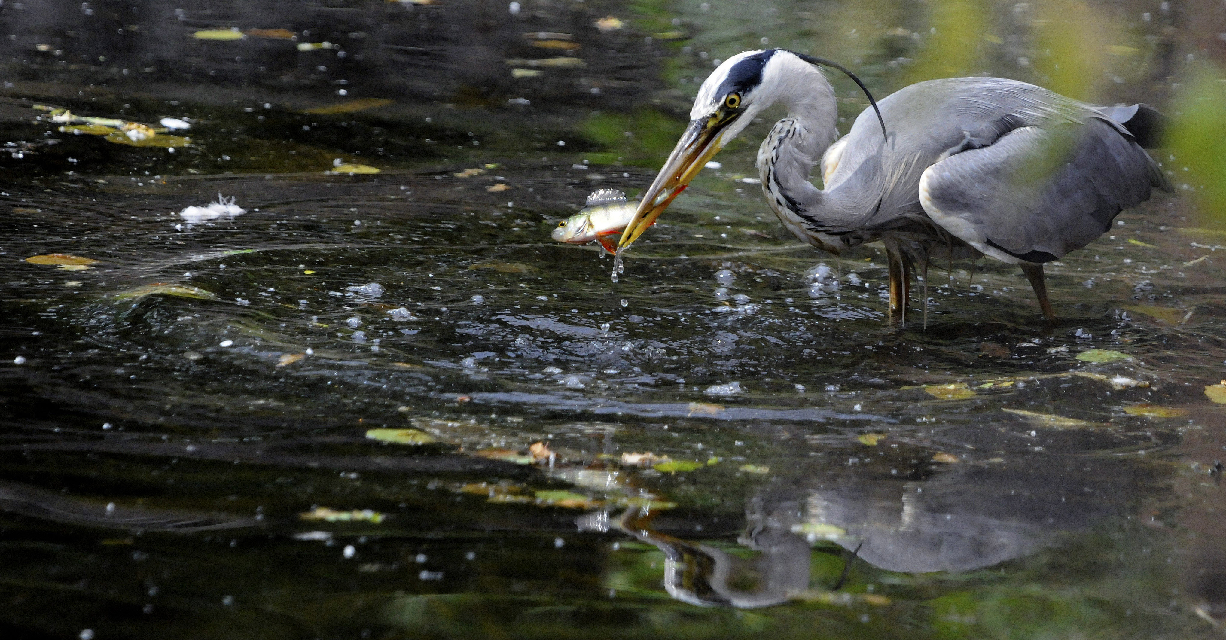 Heron, grey (Ardea cinera), DE ©Johannes Ratermann