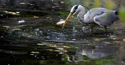 Heron, grey (Ardea cinera), DE ©Johannes Ratermann