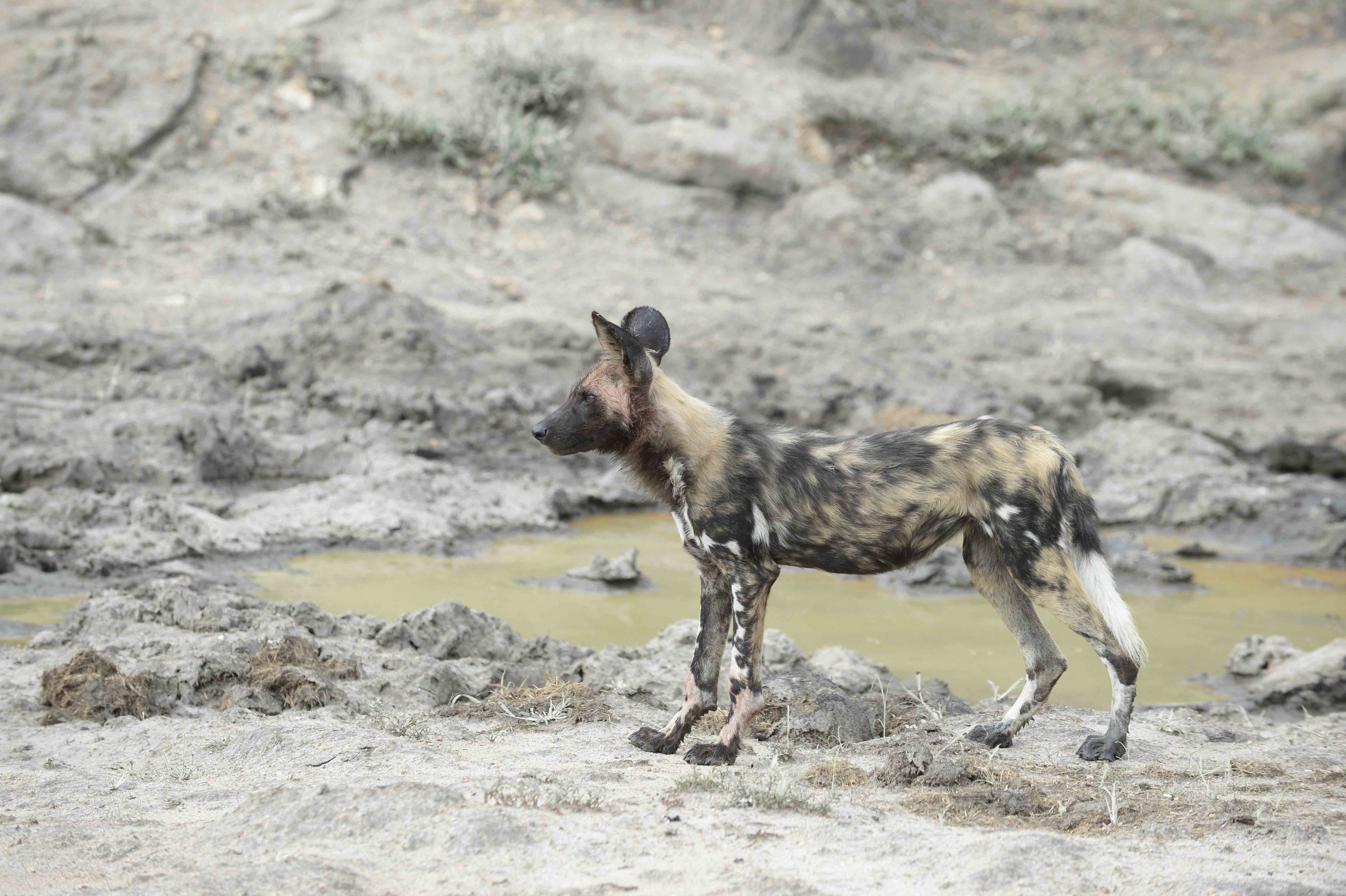 Wild Dog /Lycaon pictus, ZA ©Johannes Ratermann